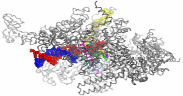 RNA polyermase